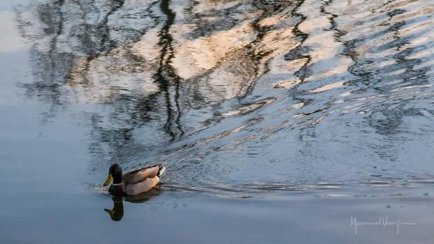 O Pato e os Reflexos
